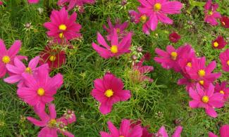 Bright pink cosmos flowers.